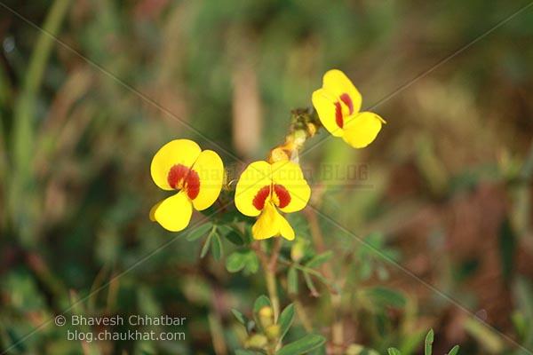 3 Bristly Smithia [AKA Smithia Setulosa, Motha Kawla, मोठा कवला]